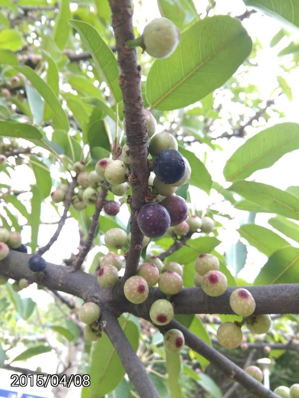 雀榕的成熟的果實, Ficus superba,  Sea Fig or Deciduous Fig
